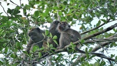 코타키나발루 원숭이